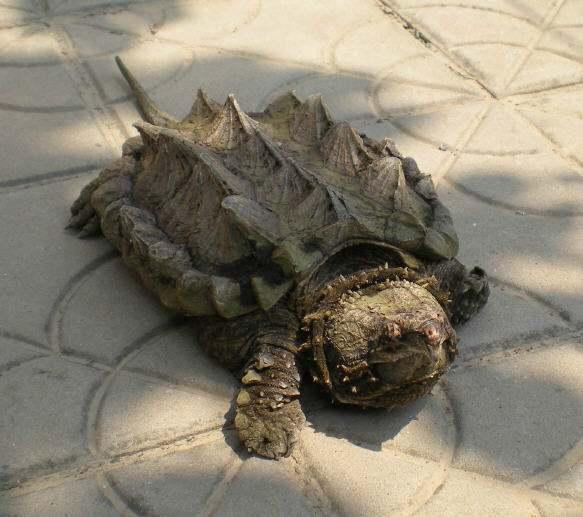 梦见两只乌龟打架