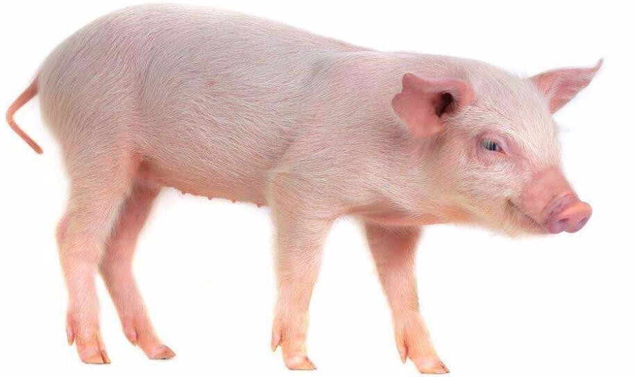 男人与猪性交_女人和猪性交能叉进阴道里去吗