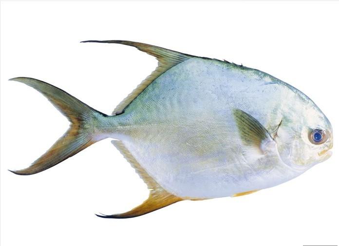 有谁知道这鱼叫什么名字吗?海里钓的图片