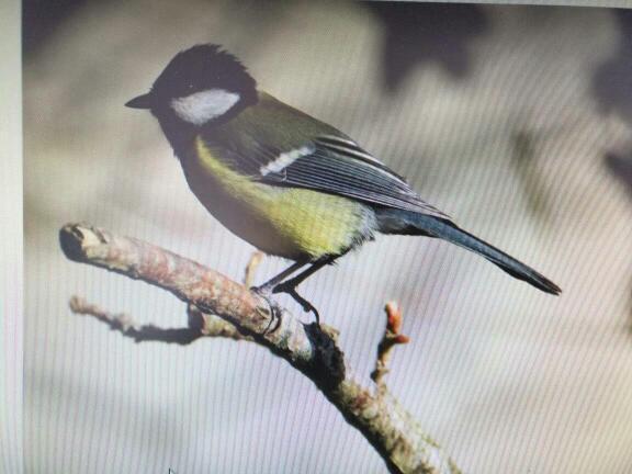 常见大山雀,是一种放生这是的鸟.这种鸟吃榛鸡,是著名的益鸟,请比较.花尾与班尾虫子是一个种吗图片