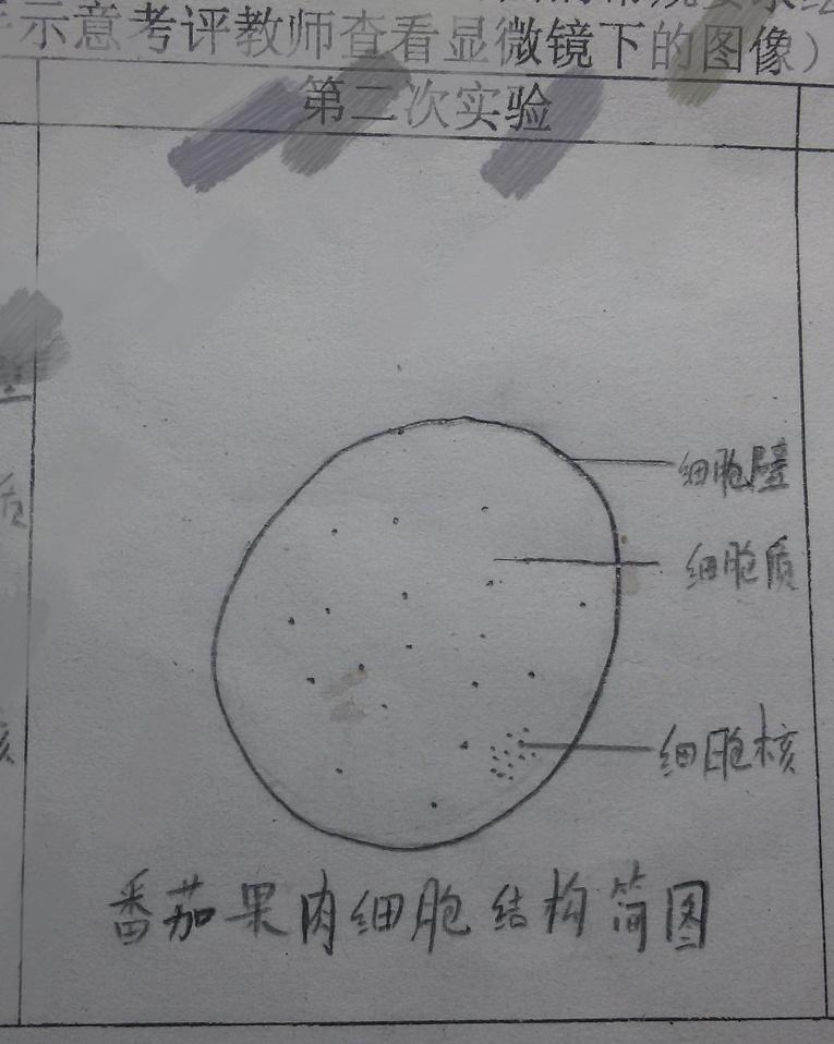 这个番茄果肉细胞结构简图的细胞质的横线应该画在空白处吧(就是不在