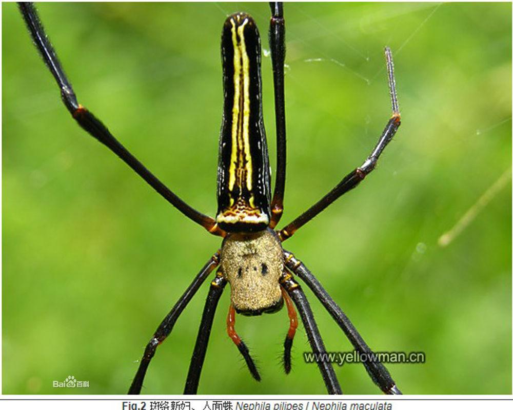 展开全部 这是络新妇属的蜘蛛哦~~ 节肢动物门(arthropoda)蛛形纲(a