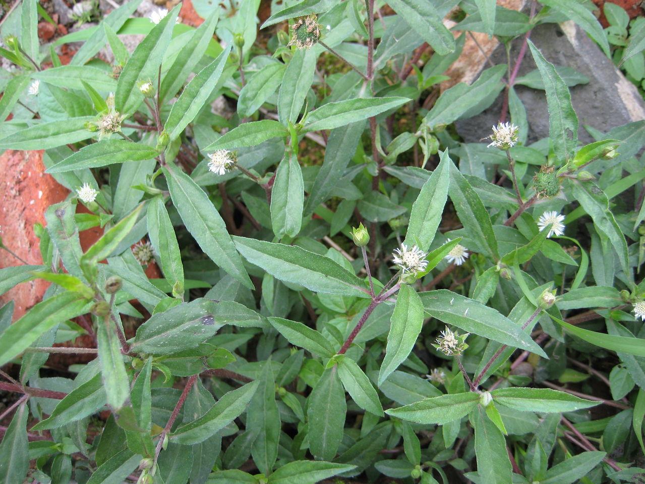 请问这种草叫什么植物