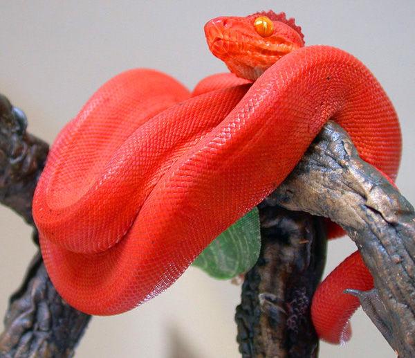 梦见红色的蛇缠身上