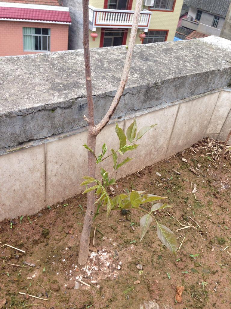 这是八月瓜树?不是说八月瓜树是儿歌类的,怎藤蔓幼儿教学图片