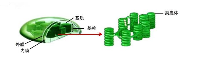 电子显微镜下显示出的细胞结构称为超微结构.