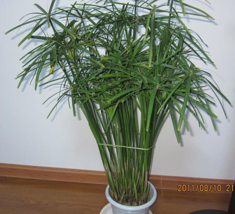 叶子像竹子的盆景是什么?怎么样?喜阴还是喜阳?有照片