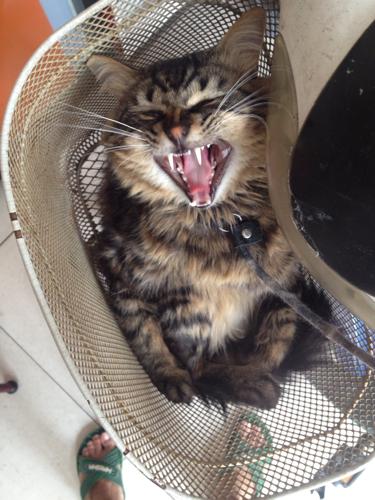 求鉴定什么猫?养了一年了,特别凶,周围猫都不敢惹他,包括野猫.