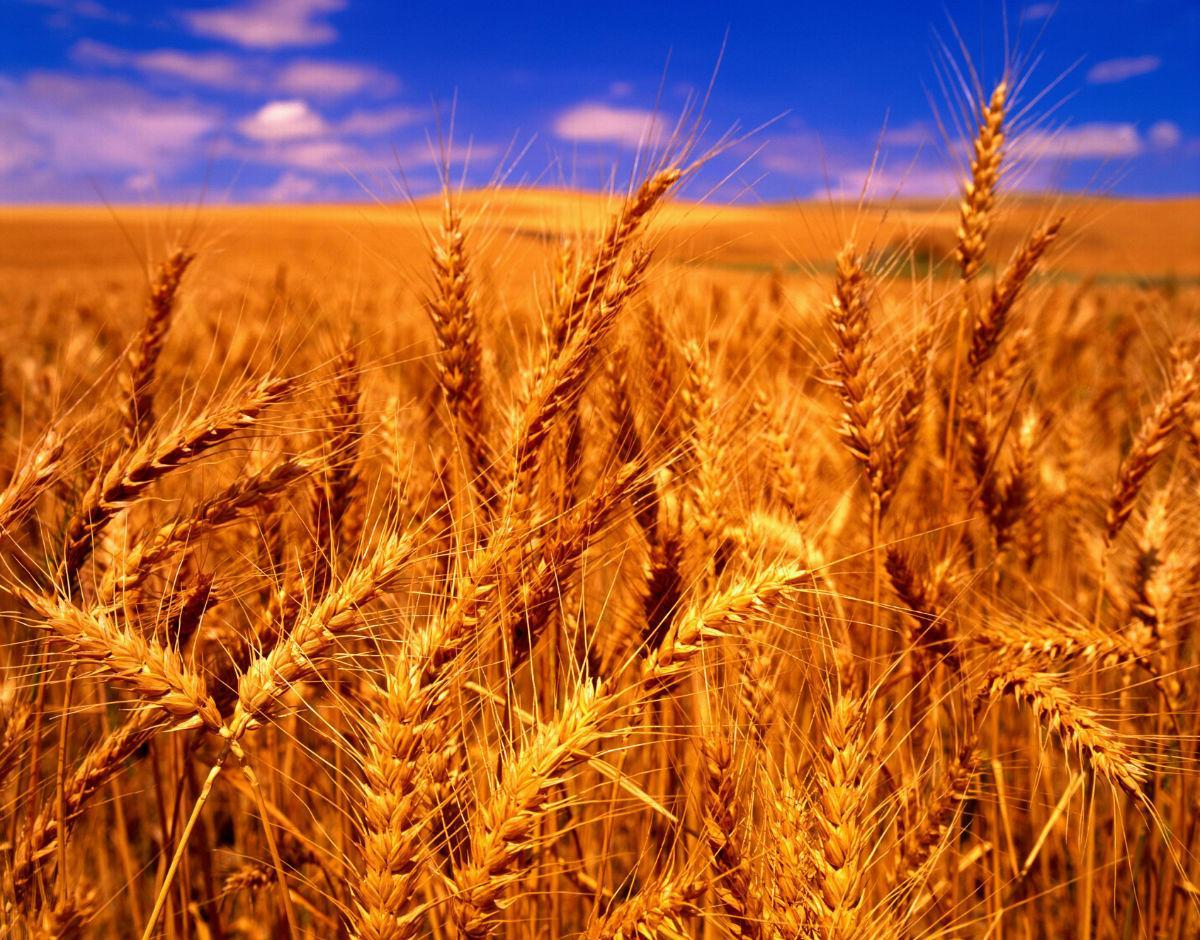 是单子叶植物,是一种在世界各地广泛种植的禾本科植物,小麦的颖果是