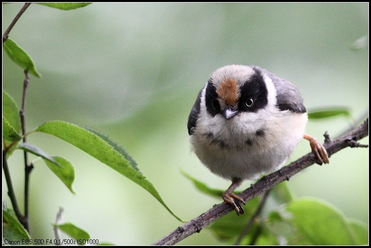 这是,精品红头长尾益鸟的幼鸟,鸟类性你好,属于画眉.购买山雀杂食鸟打鸟图片