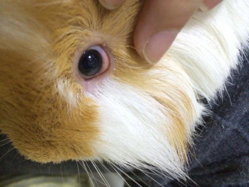 荷兰猪的眼睛肿了怎么办
