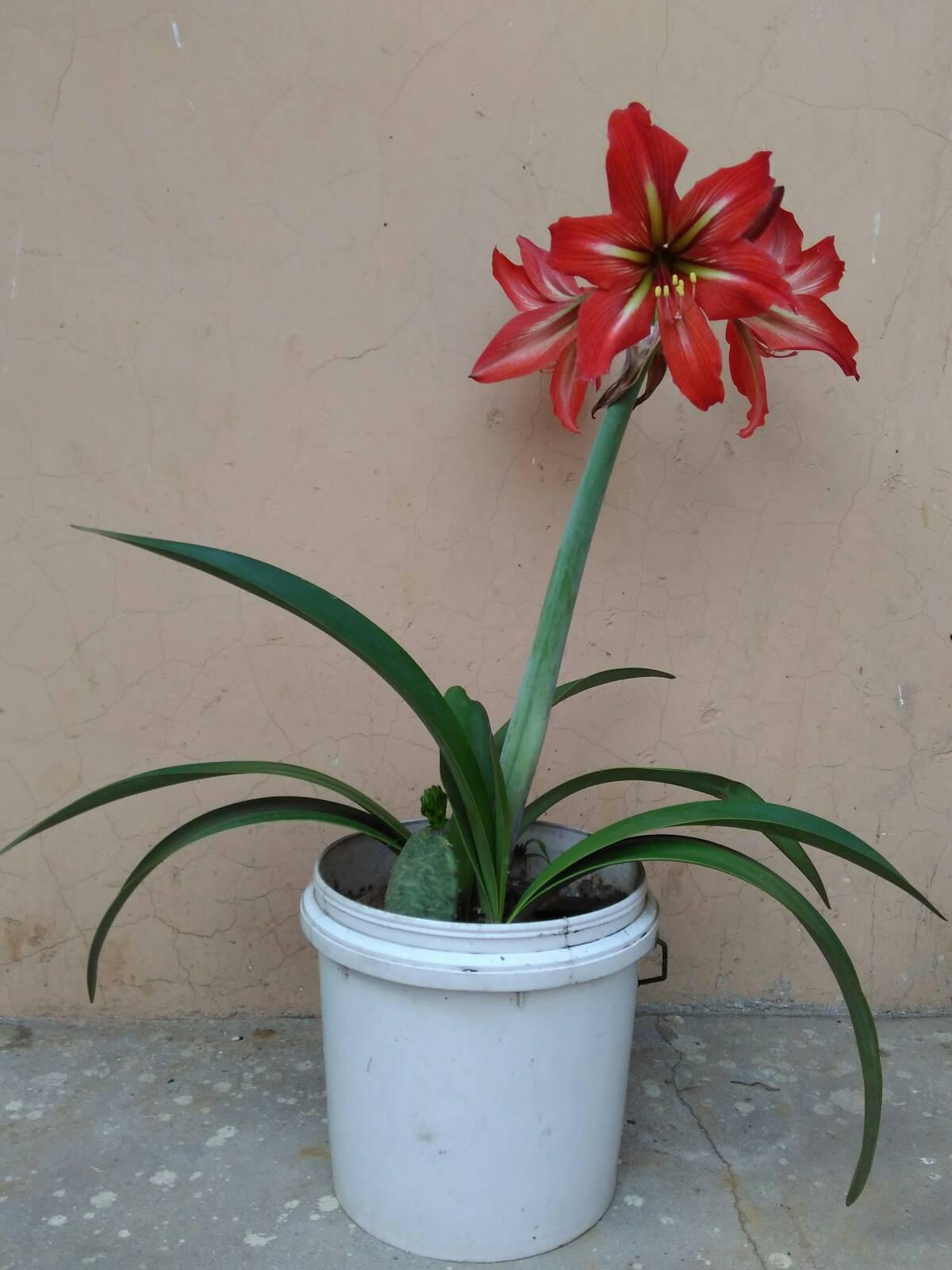根像根茎,洋葱长而扁,一猪肉上三多花是花?养潮州市奄埠镇市叶子干图片