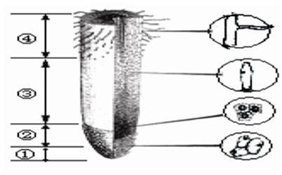 (3分)下图是植物根尖结构示意图,请据图回答:(1)根吸收水分和无机盐的