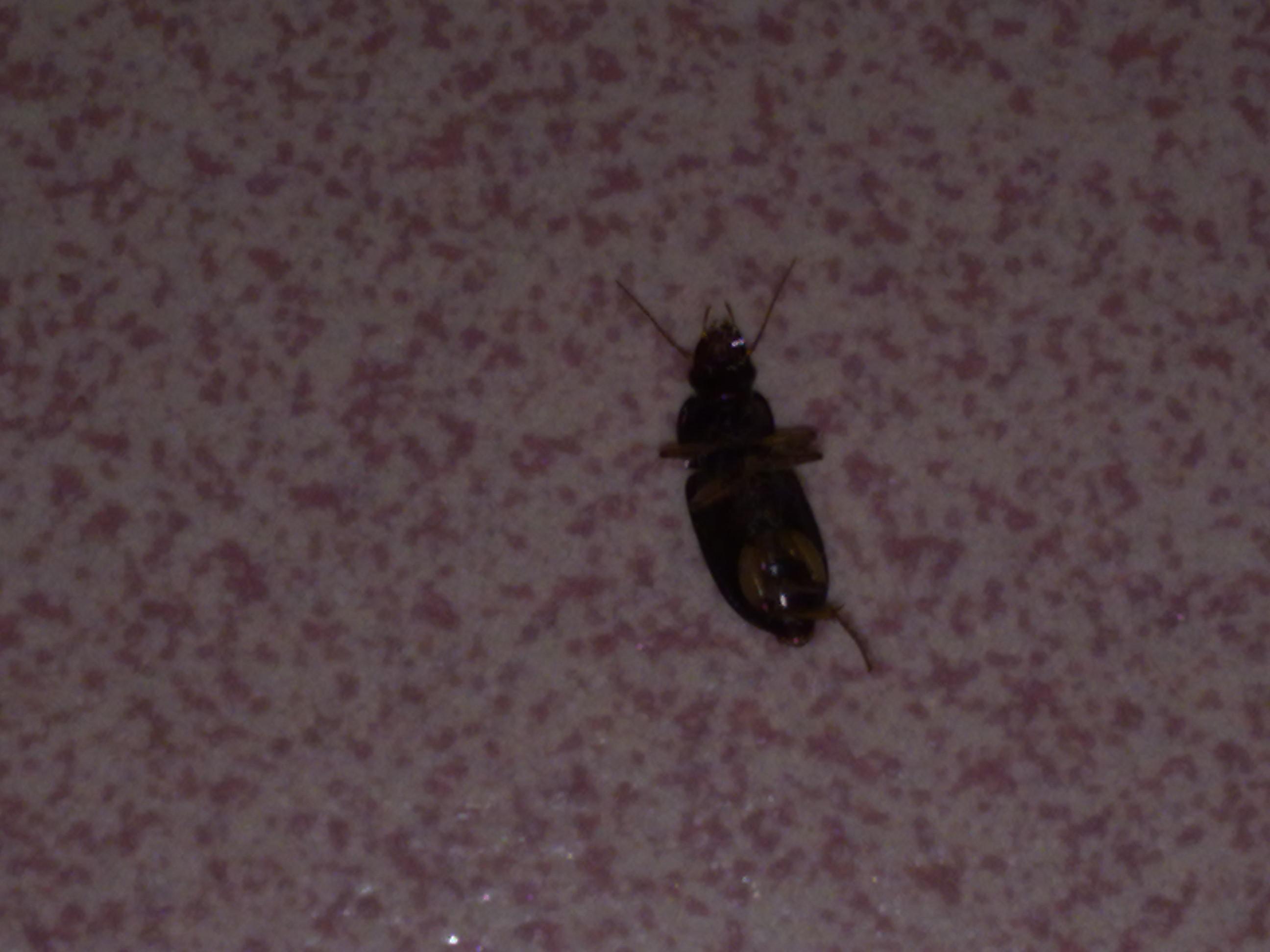 无虫木丰_夏天会飞的硬壳虫,1cm左右,貌似蟑螂,有趋光性.