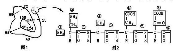 下图是某蛋白质的肽链结构示意图(图1,其中数字为氨基酸序号)及部分
