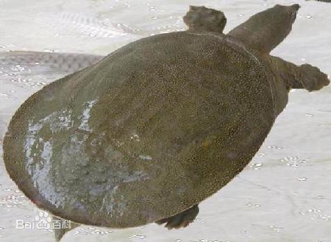 鳖俗称甲鱼,水鱼,团鱼和王八等,卵生爬行动物,水陆两栖生活.