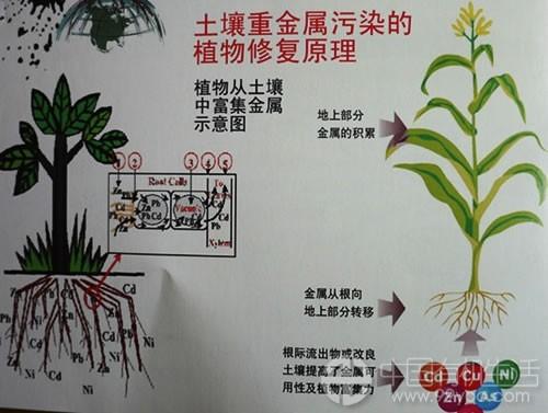 """存在污染物通过""""植物—动物""""的食物链进入自然界的可能."""