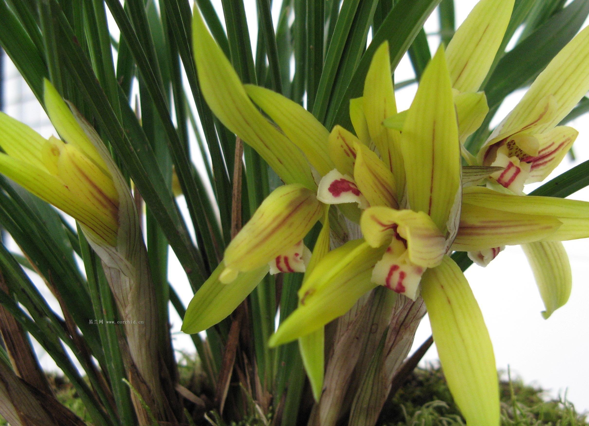 请问这是什么品种的兰花(建兰中的哪个种类)? 附图图片