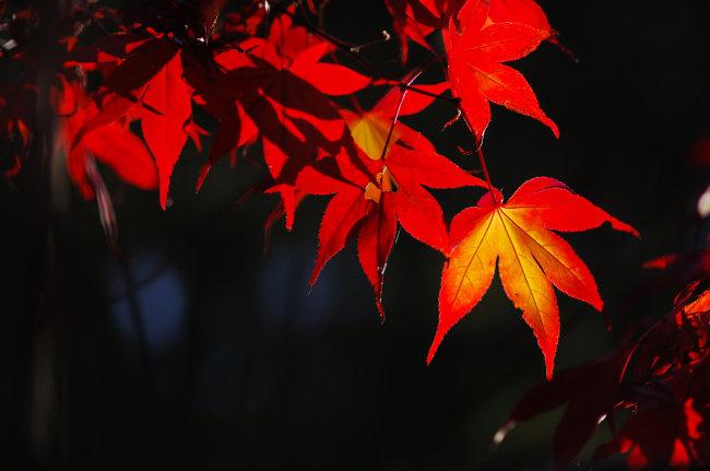 一张图片黑色背景红色枫叶