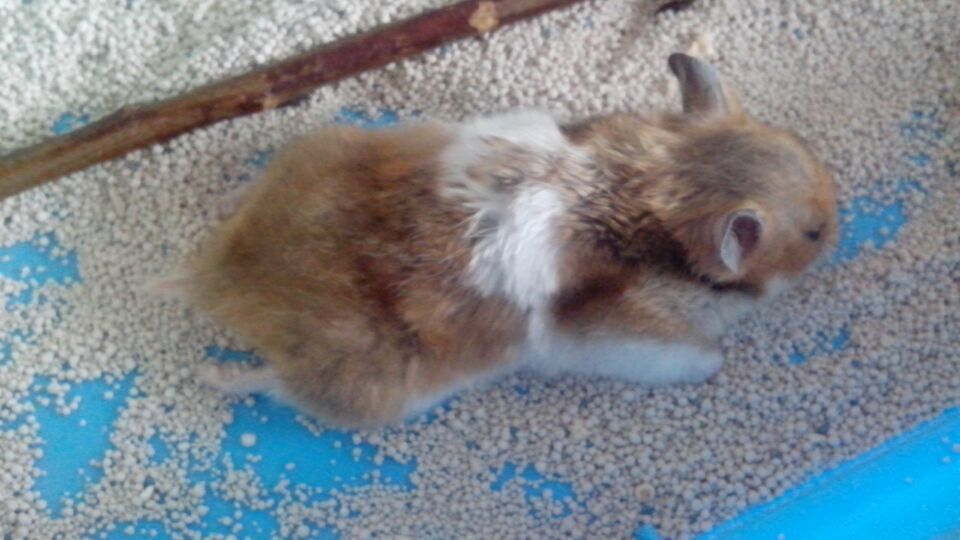 兔子a一直a兔子死了捂了一直了一动抽搐仓鼠一张一张怎样用嘴巴尾做挂饰图片