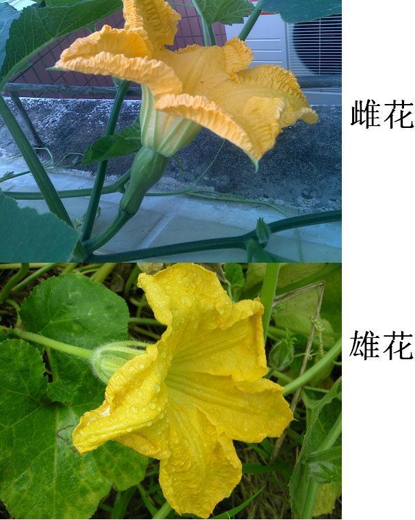 葫芦雄花雌花_单性花:雄花和雌花有哪些?