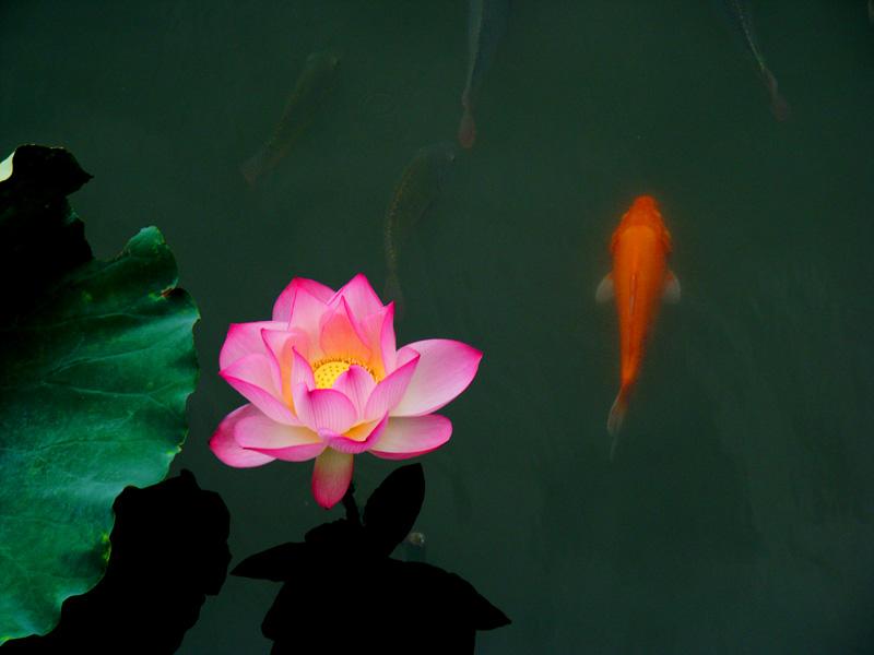 给一张,池塘里几千条红鲤鱼的图片,要求,漂亮,或者非常美的红鲤鱼的