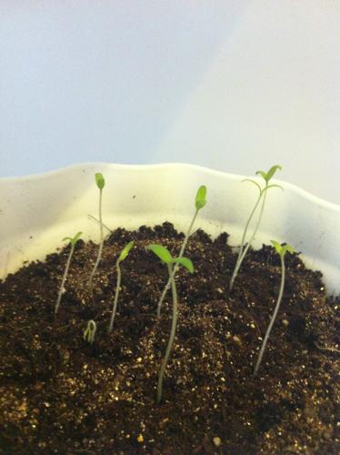 草莓发芽过程_种了蕃茄和草莓的种子,可种完以后搞不清楚哪盆是草莓