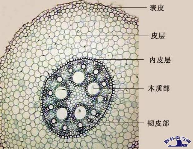 毛茛根部横切显微图片是什么样儿的