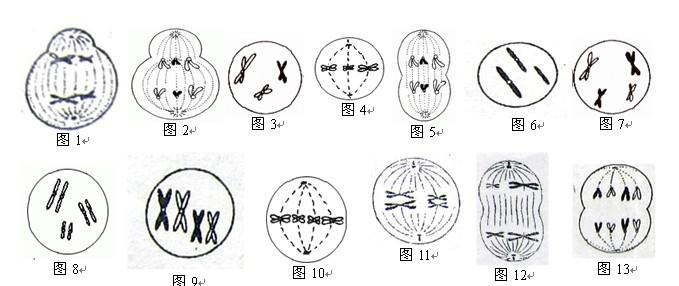 展开全部 细胞分裂图像是减数分裂还是有丝分裂,可根据细胞形状