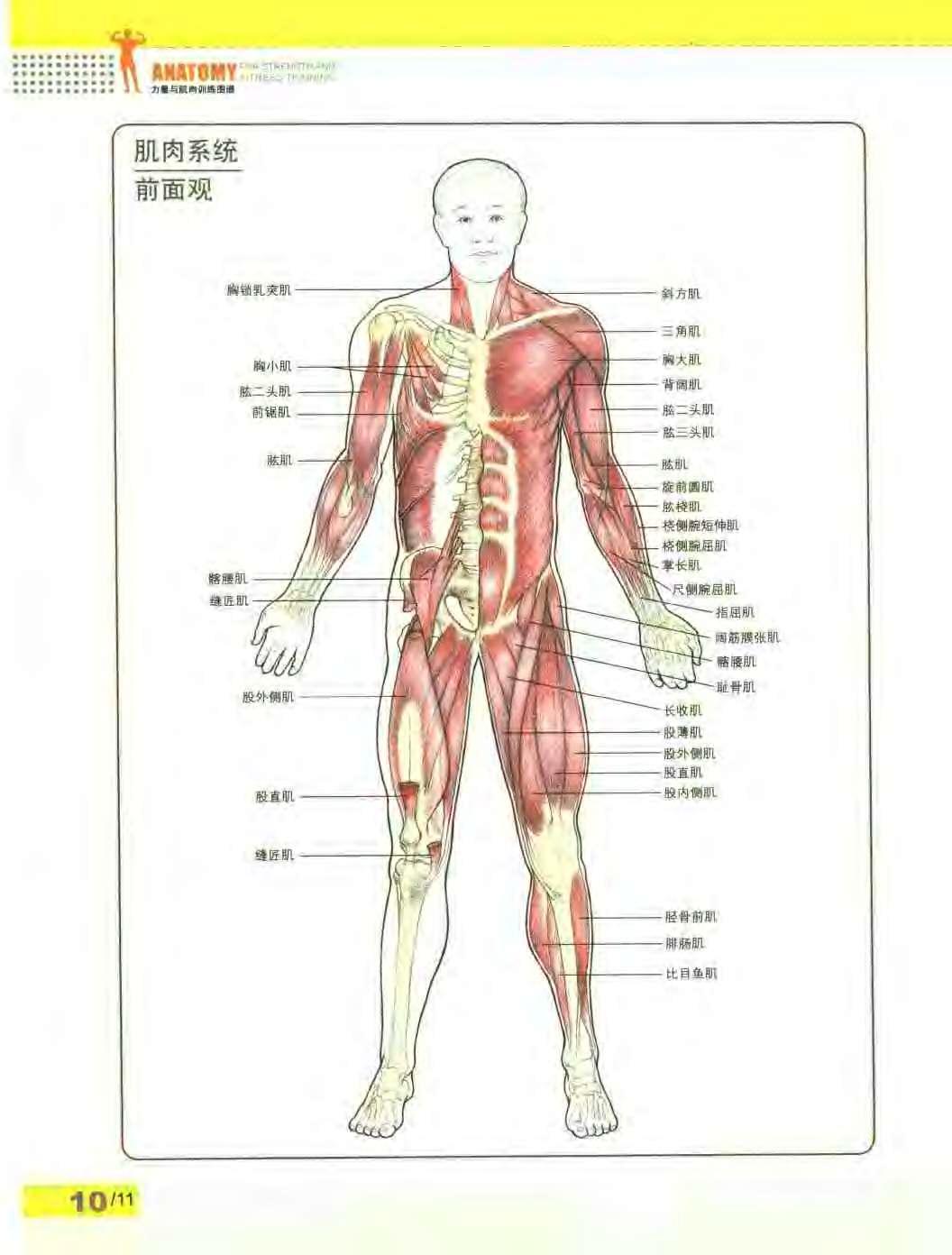 人体血分布图_求:人体肌肉分布图 高清带文字