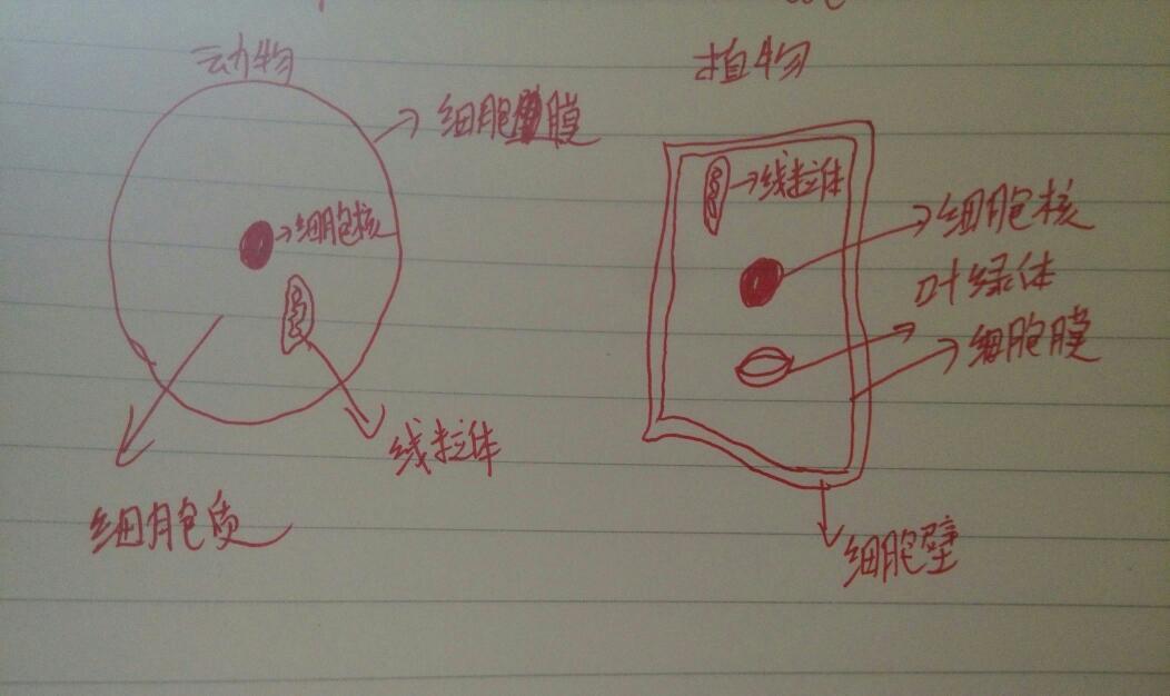 动物细胞结构图和植物细胞结构图怎么画