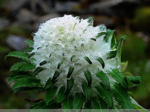 高山植物图片及名称