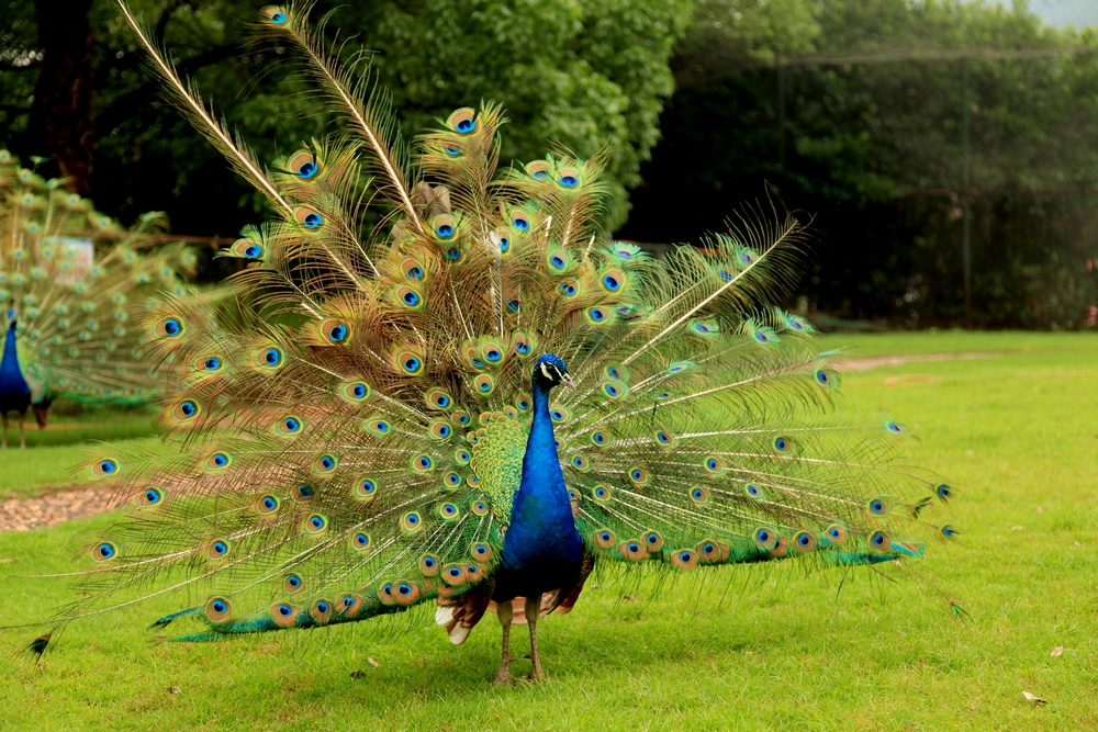 孔雀开屏侧面手绘彩