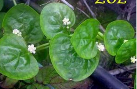 请问这是什么藤蔓植物,叶子心形,开白色五星小花,秋天