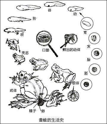 青蛙发育过程图片