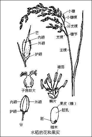 水稻透明底手绘图片