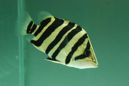 形成老虎一样的花纹.是一种颇受欢迎的观赏鱼.