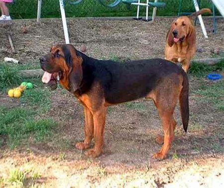 狗的种类傹.���/_长耳朵狗是什么品种
