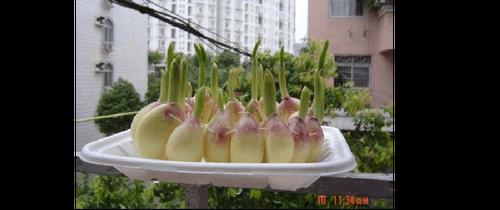 蒜苗的生长过程及图片