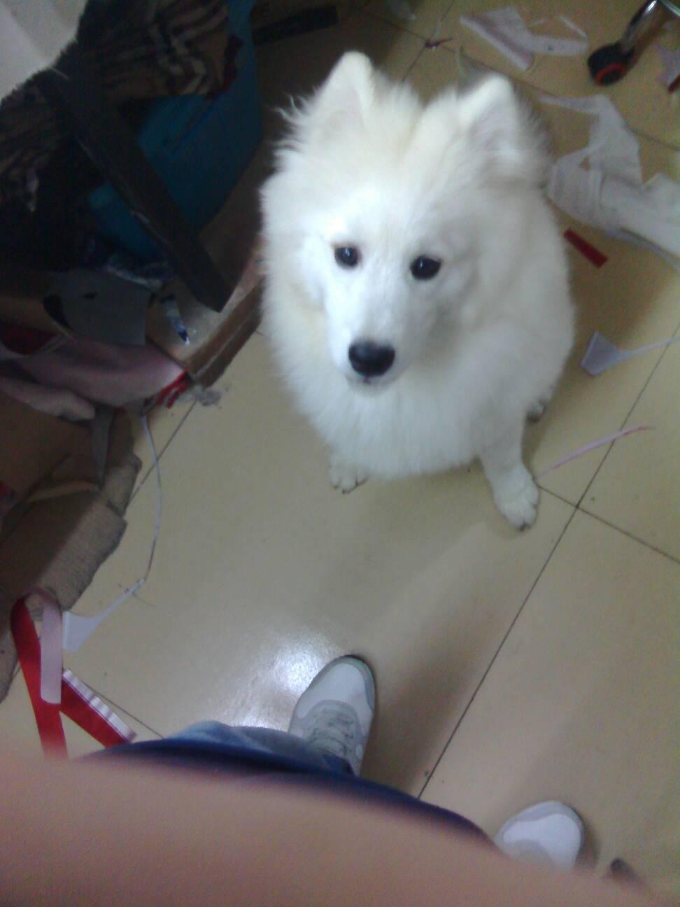 长脸狗_体型大,全身白色,长毛,长脸,是什么品种的狗?_百度知道