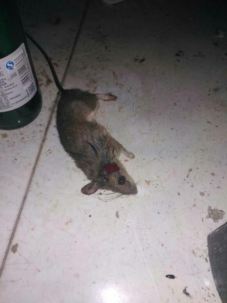 梦见有好多有大又胖的老鼠被自己打死了,并且煮着吃? 梦见好多老鼠有的让我打死了