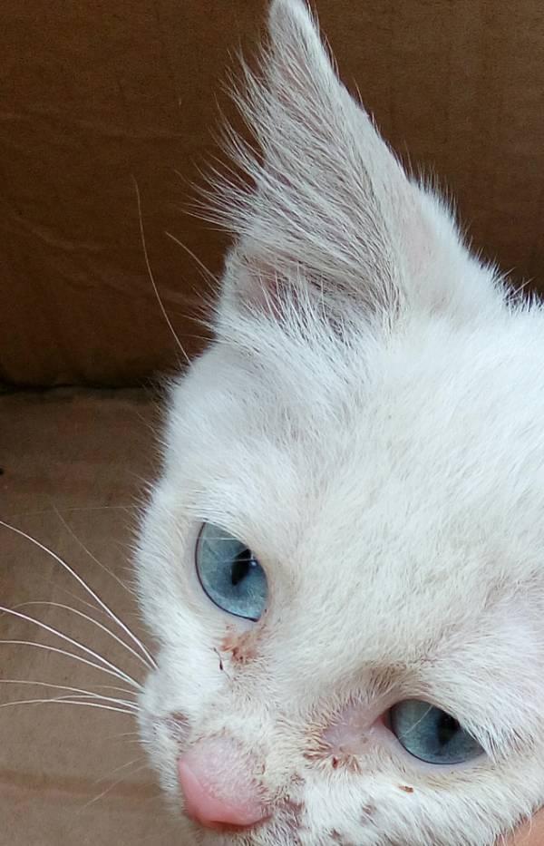 白毛蓝眼睛的猫_白毛蓝眼睛的猫 是什么品种?_百度知道