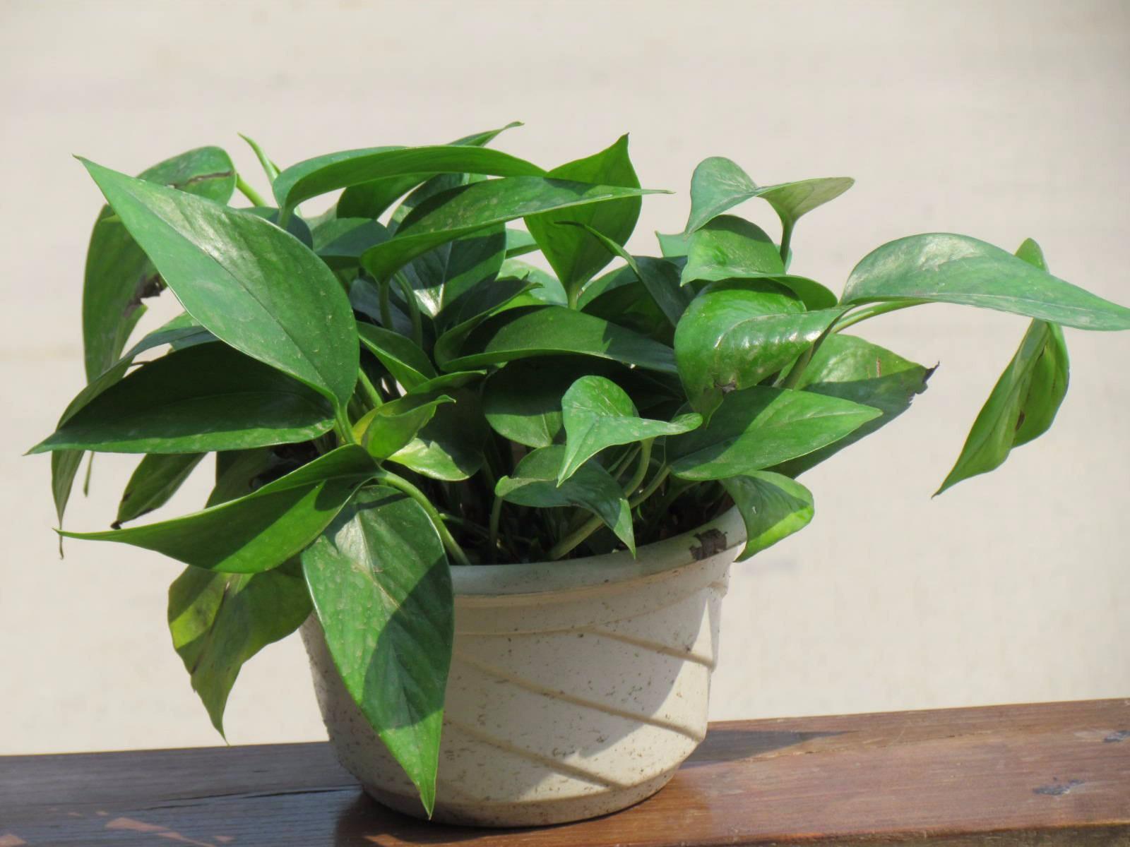 植物绿萝的作用与禁忌