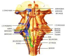 脑干神经元的聚集