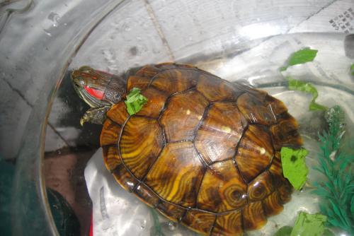 家养红耳彩龟