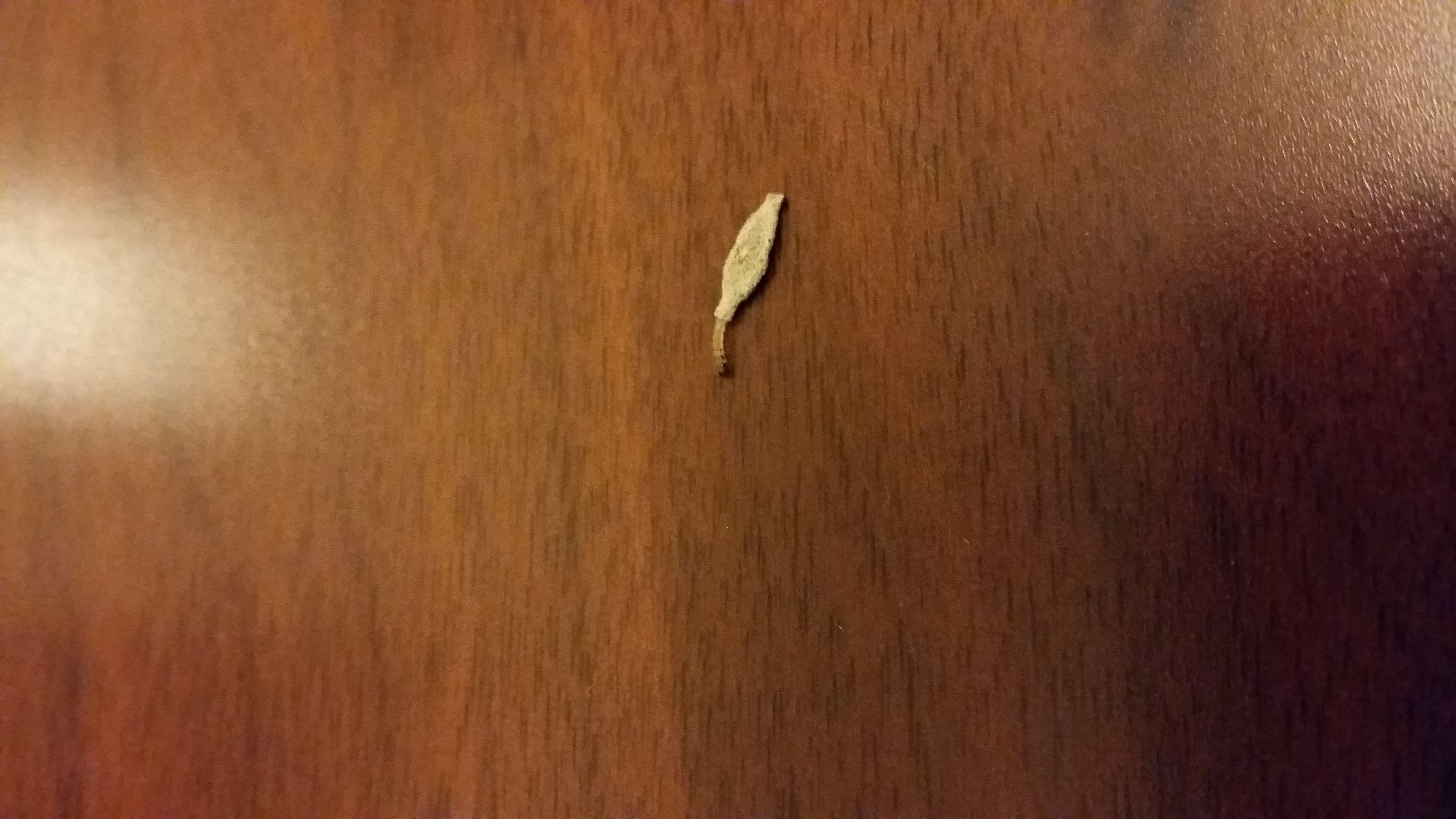 我在家里木地板上,發現有幾處這白蛾蝙蛹小蟲,白蟻又不象,請問是什么圖片
