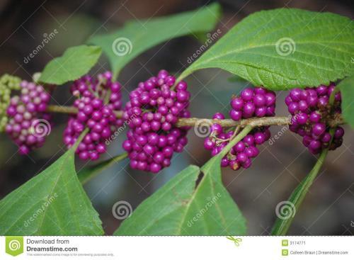 饥荒浆果丛代码_求饥荒可以种植的蜜汁浆果丛的代码_百度知道