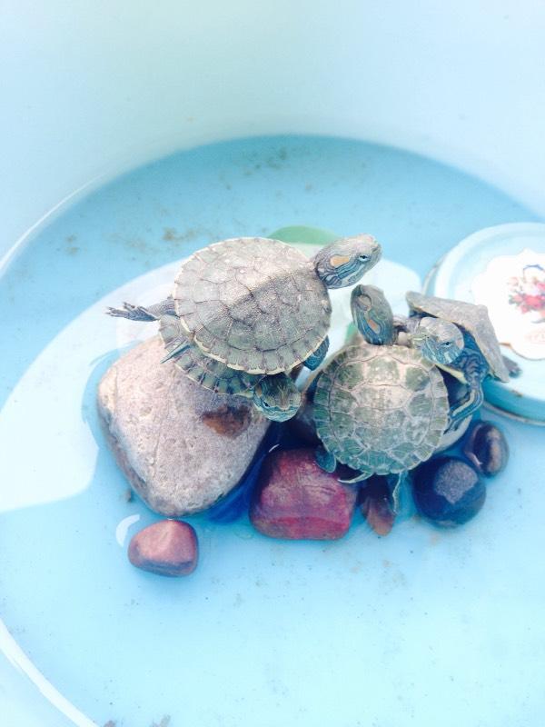 为什么我养的小乌龟要这样做抬腿运动