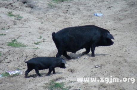 梦到黑色母猪什么预兆