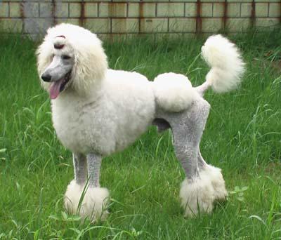 白色巨型贵宾犬价格_有白色的巨型犬么??是什么品种??_百度知道